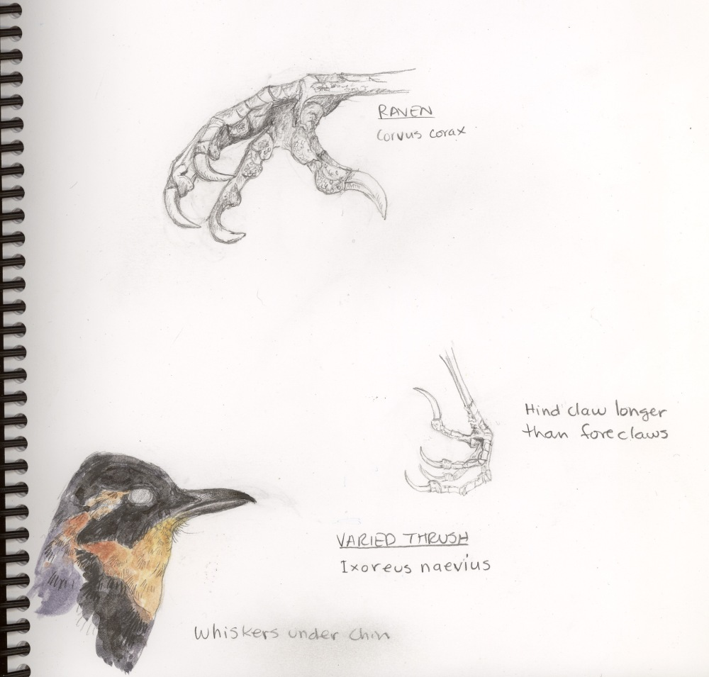 raven-thrushpage