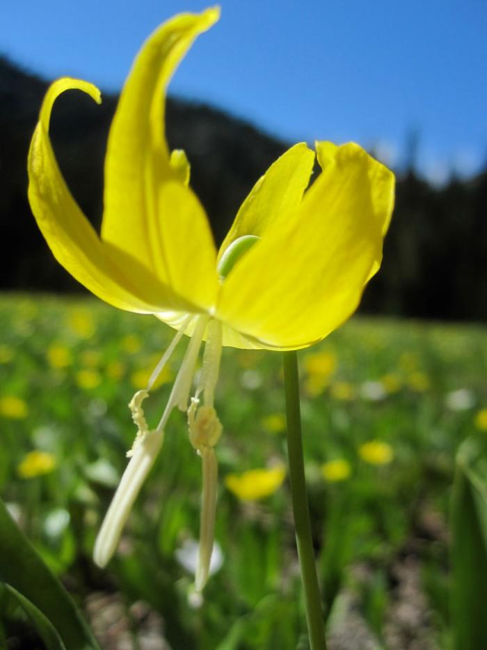 Glacier lily in meadow