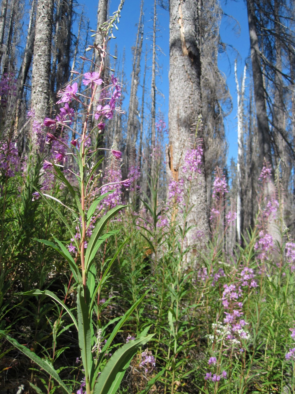 Fireweed in the Lemah burn