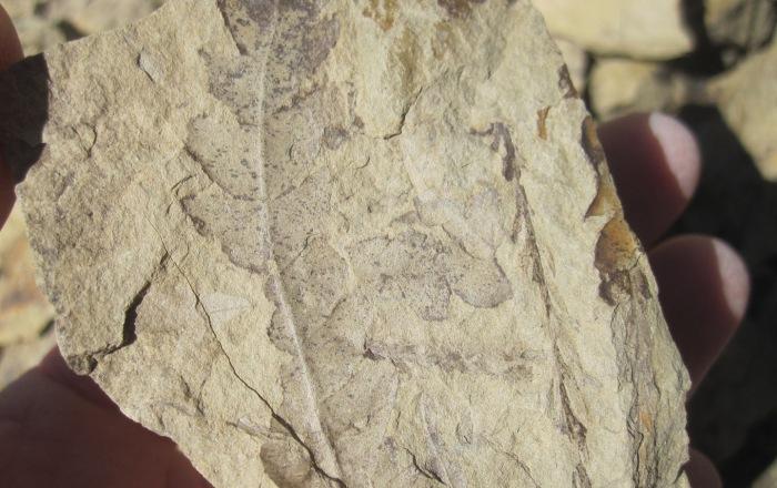 fossilfern